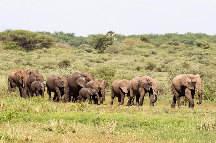Explore! Serengeti lodge safari - Herd of elephants walking in a line, a mix of baby elephants and adults. Some of them have recently taken a mud bath