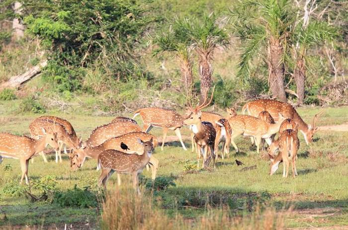 Visiting the Wilpattu Park and seeing the axis deer on the Cox & Kings Splendours of Sri Lanka tour