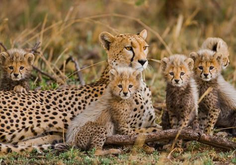 Explore! Serengeti lodge safari - Mother cheetah and her cubs in the savannah. Kenya. Tanzania. Africa. National Park. Serengeti. Maasai Mara
