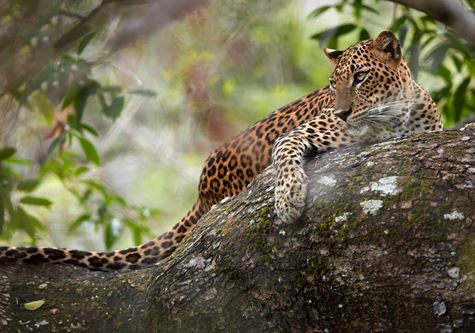 The Leopard at the Wilpattu Park - Cox & Kings Splendours of Sri Lanka